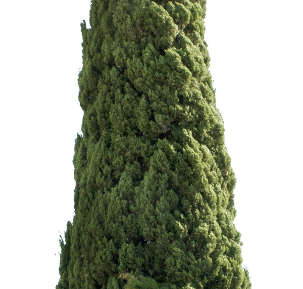 Cupressus sempervirens tree II - cutout trees