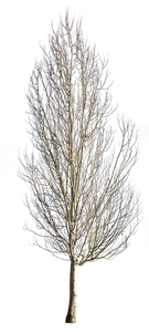 Populus alba Winter - cutout trees