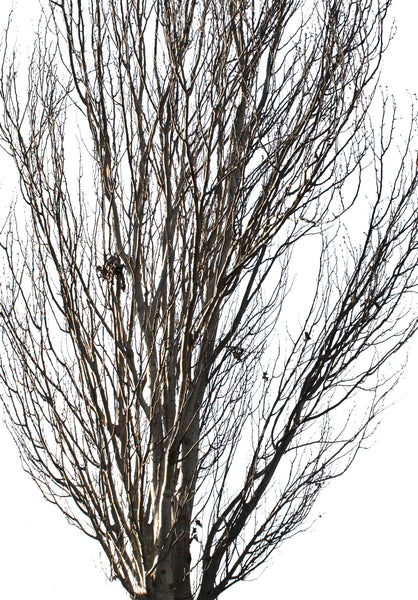 Populus alba Winter II - cutout trees