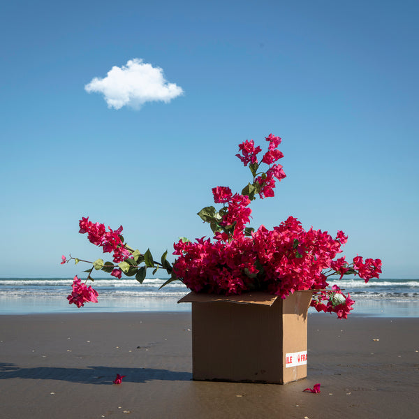 Garden of Piha Bougainvillea