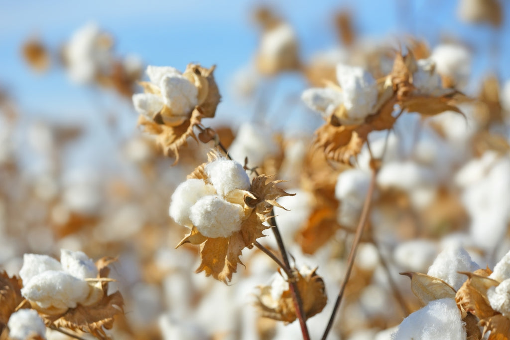 What Is Pima Cotton?