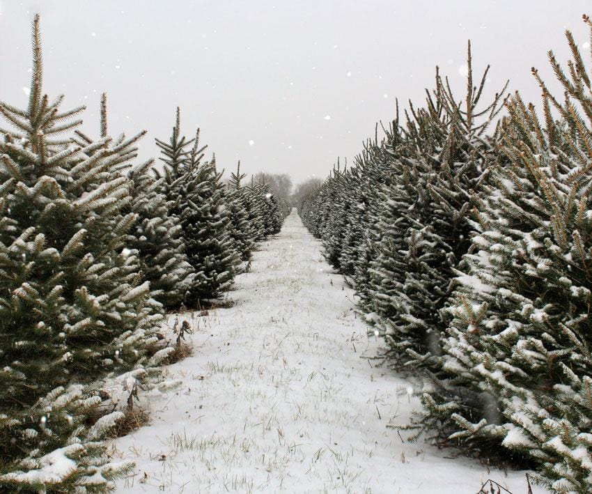 Kate Christmas Pines Tree Farm Path Backdrop for Photography