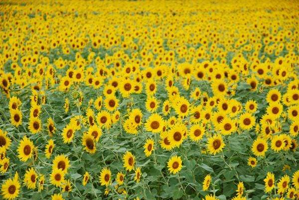 Katebackdrop£ºKate Sunflower Field Backdrop for Summer Photography