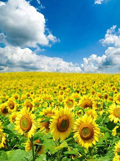 Katebackdrop Kate Sunflower Yellow Flower Sea Photo Sky Scenery Background