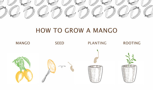 How to grow a mango tree at home?
