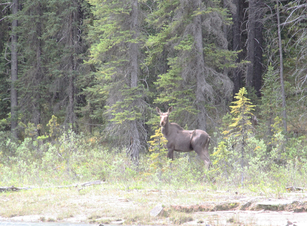 Moose, Canadian Rockies