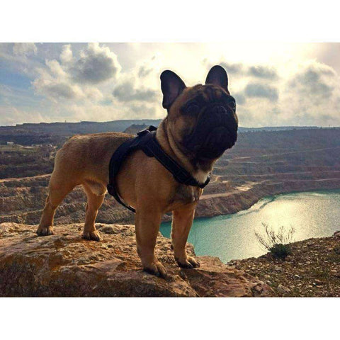 Harnais de sécurité -  - Lovely bouledogue