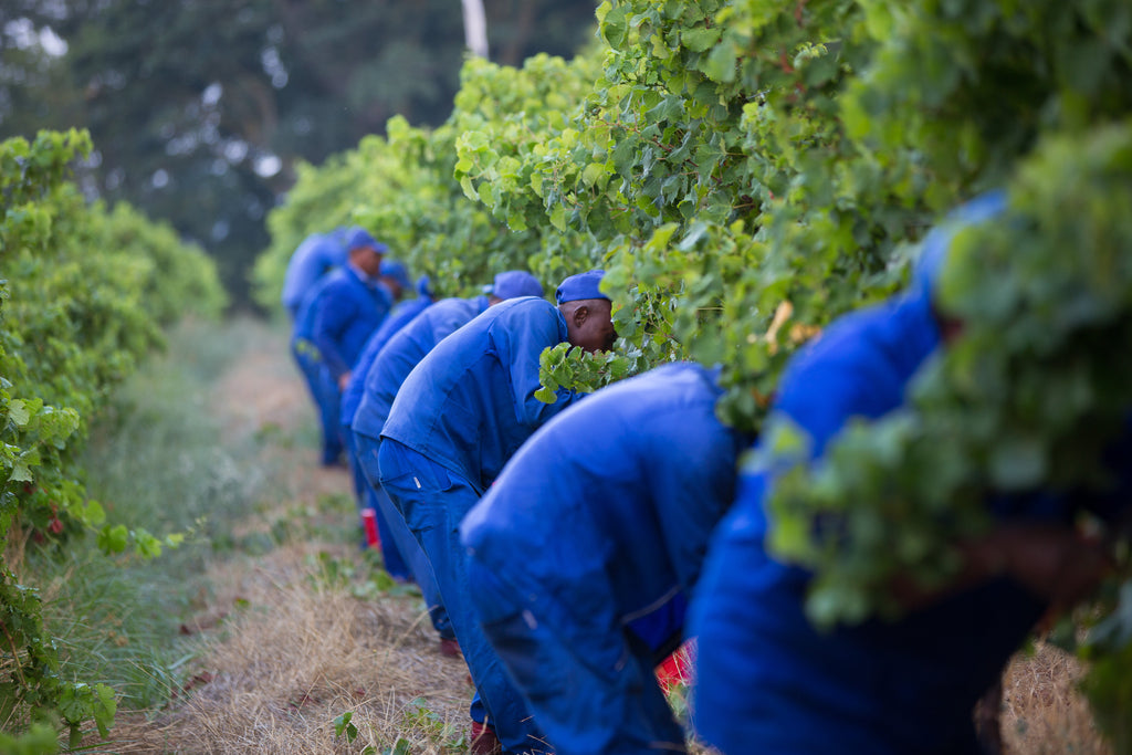 2013 South African Wine Grape Harvest Report