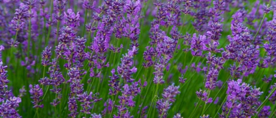 Skin care with lavender oil