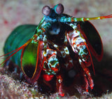 Mantis Shrimp Dark