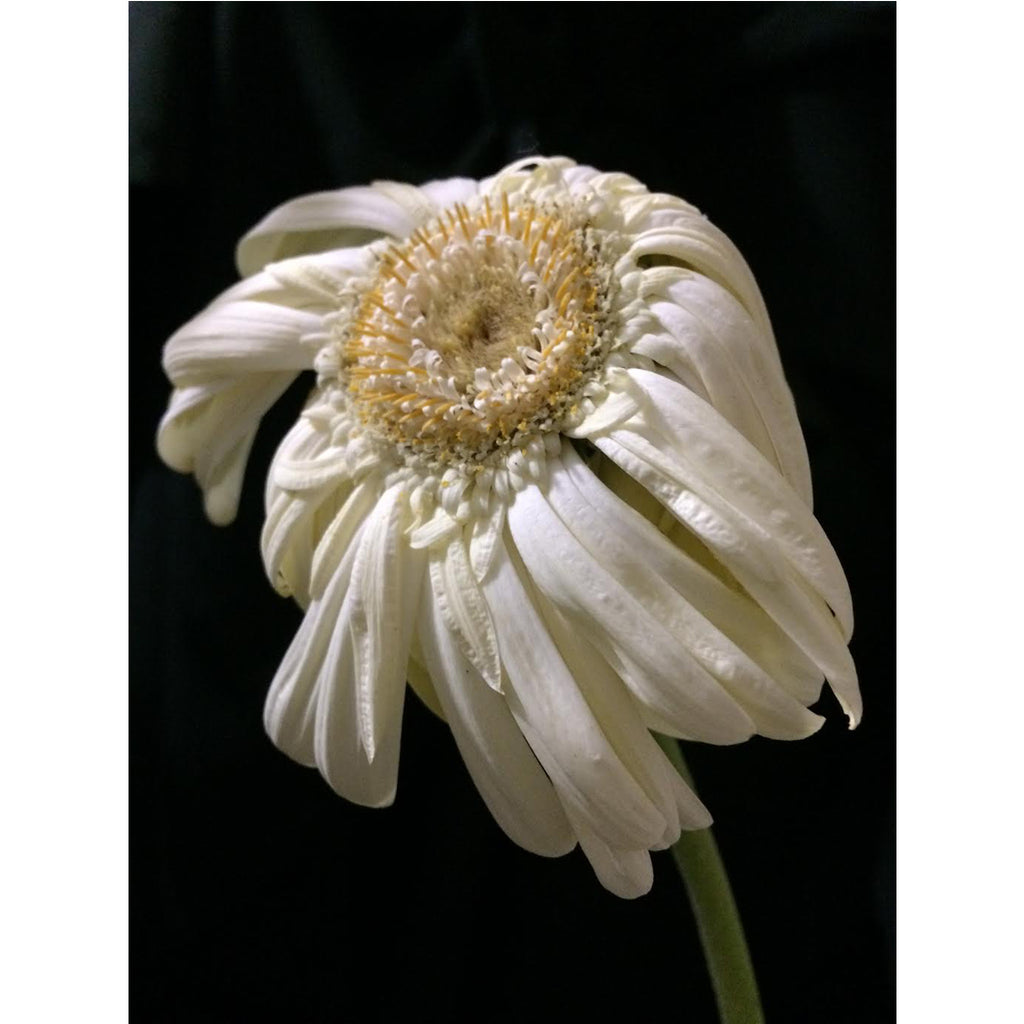Facing White Daisy