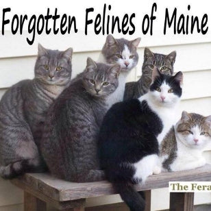 MAINE - Forgotten Felines of Maine