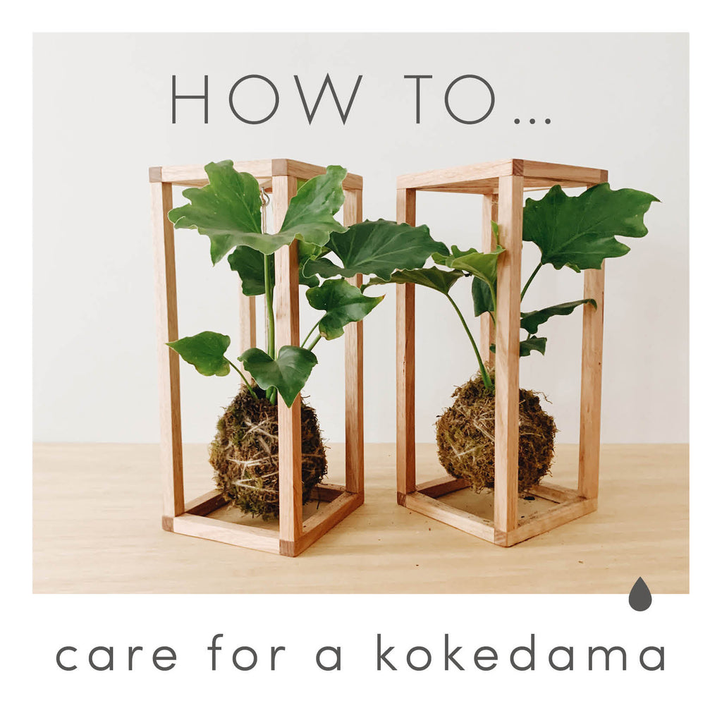 How to care for a kokedama
