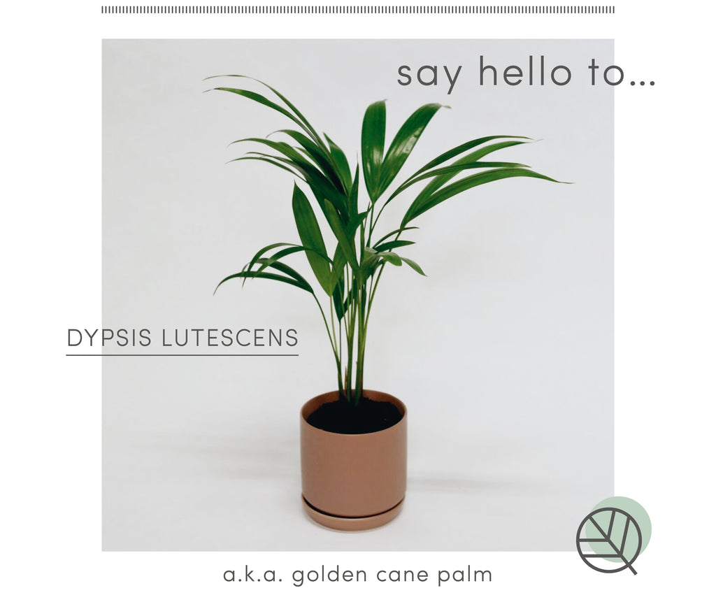How to care for the golden cane palm