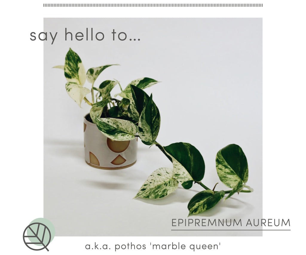 How to care for Pothos marble queen