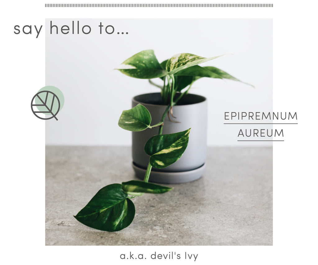 How to care for Devil's Ivy