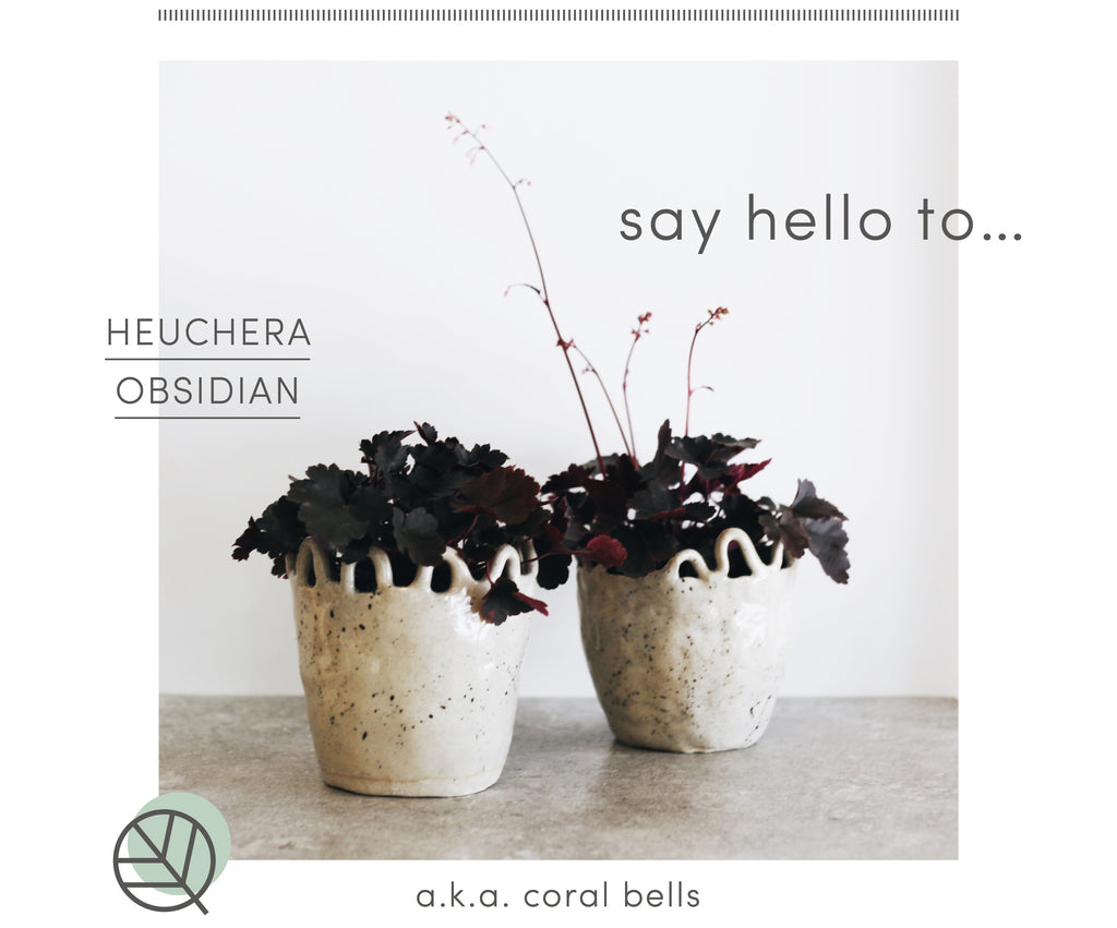 How to care for Heuchera