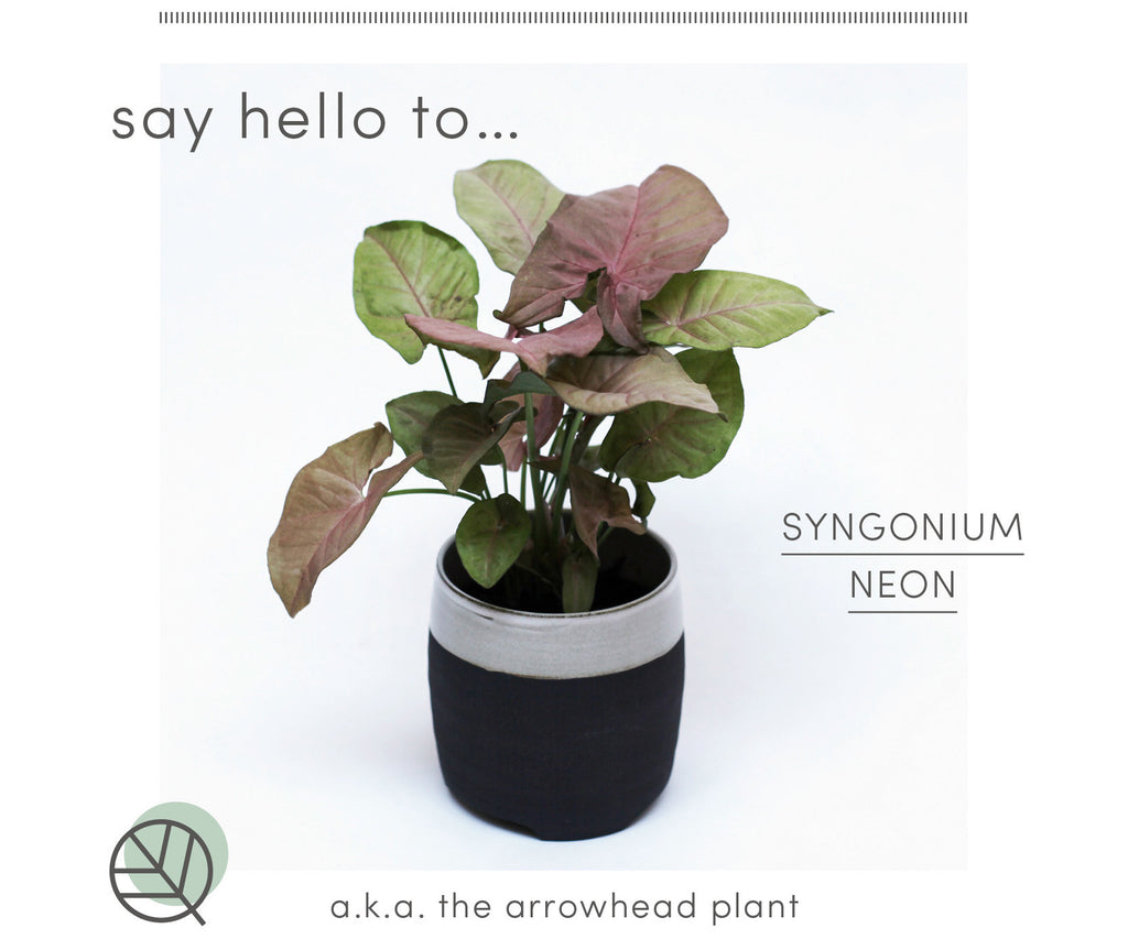 How to care for your Syngonium Neon