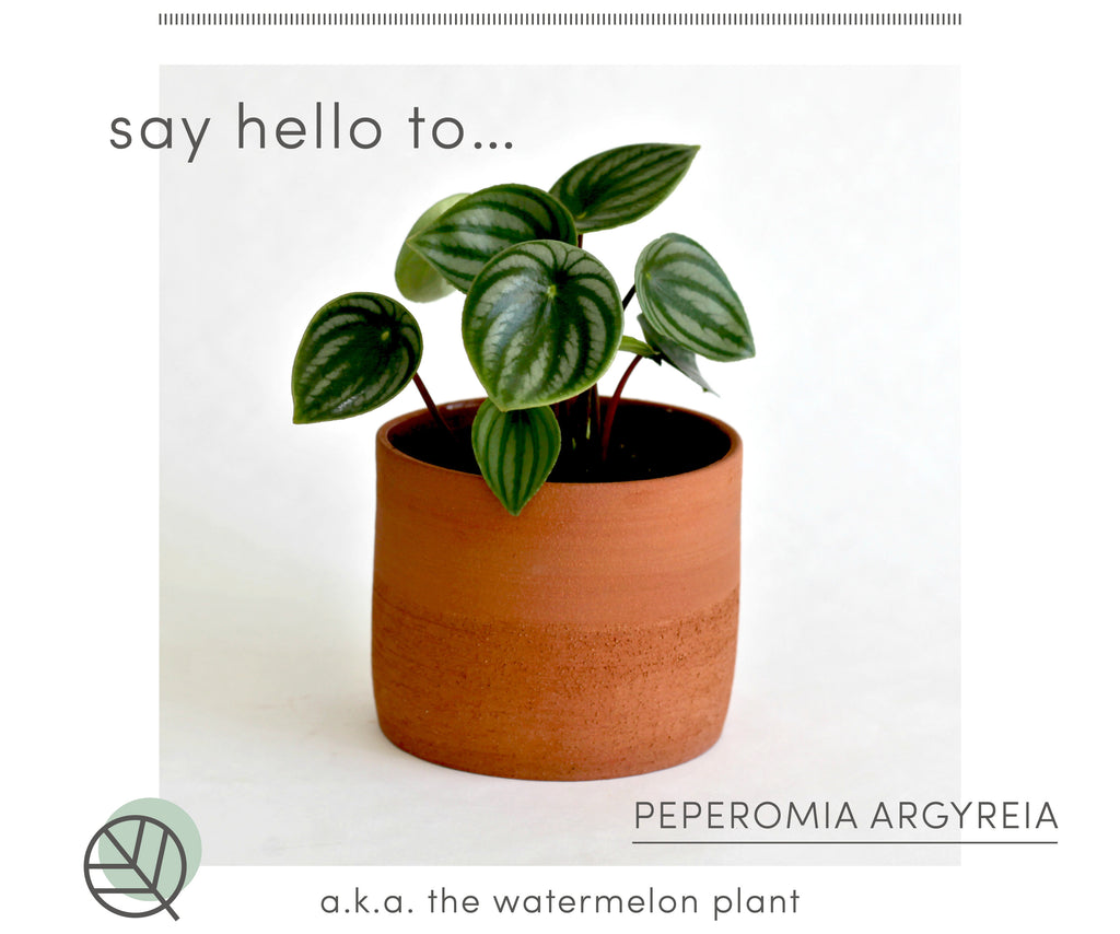 How to care for the Watermelon peperomia