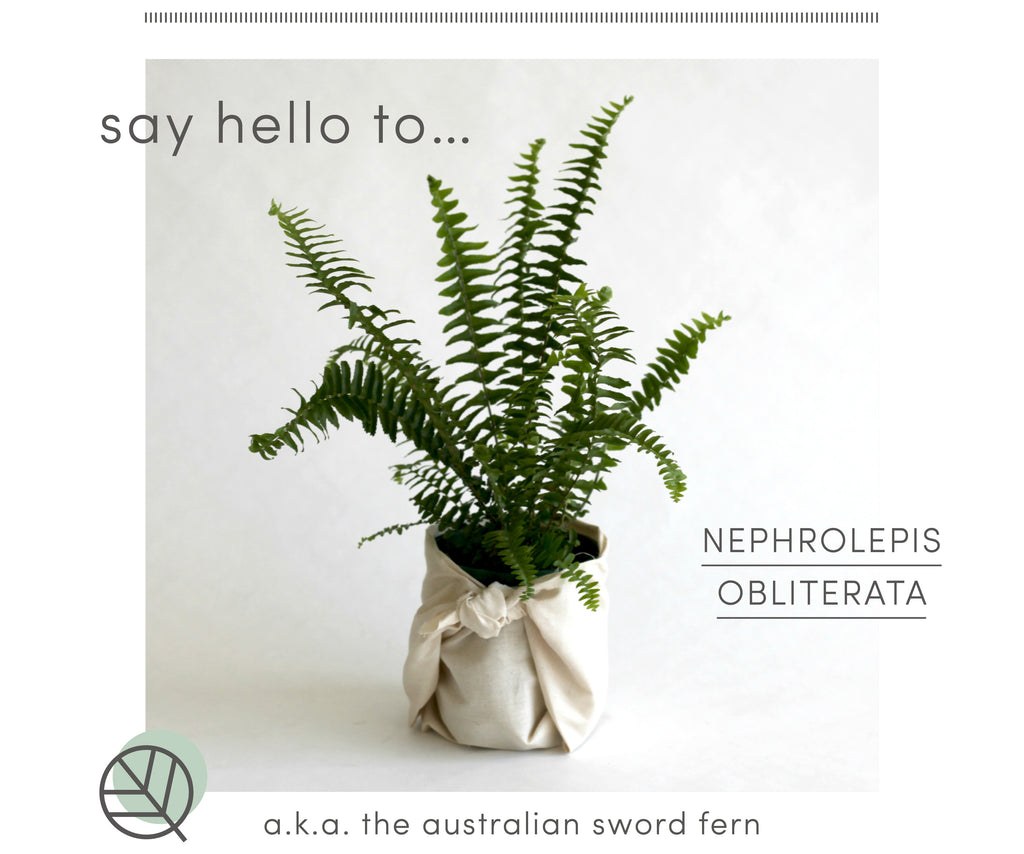 How to care for the Australian Sword Fern
