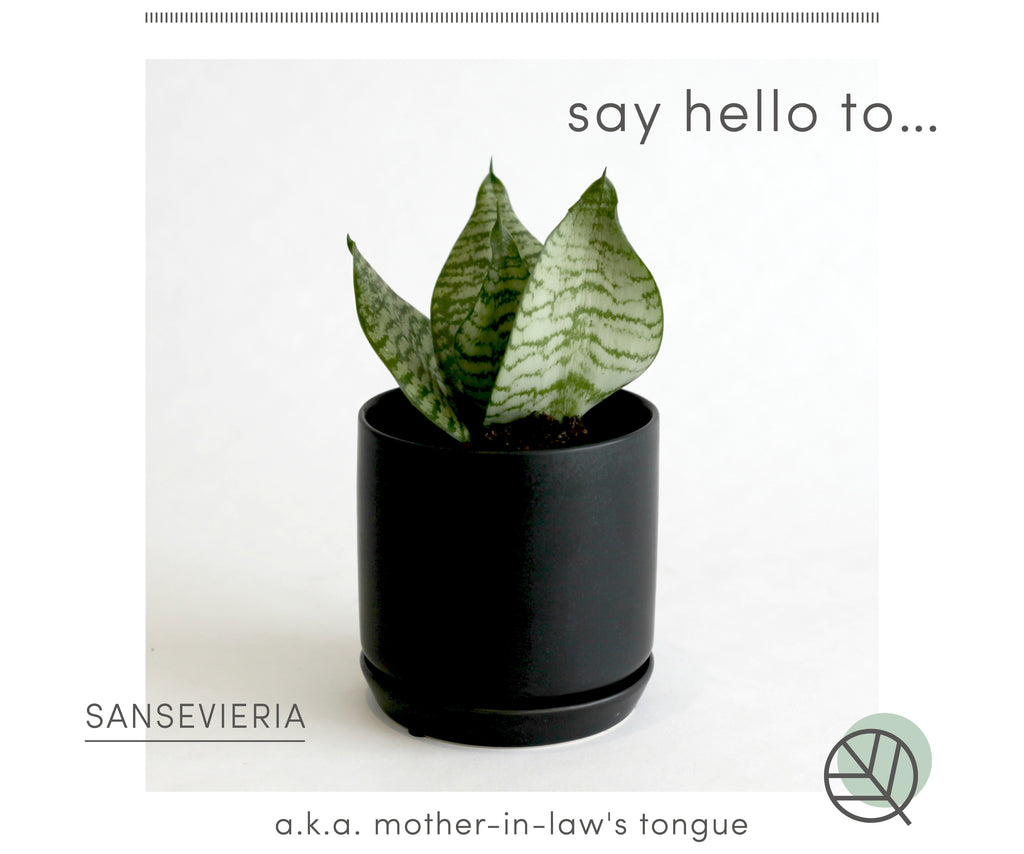 how to care for sansevieria indoors