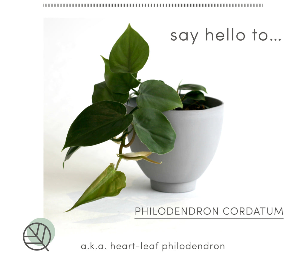 How to care for heart-leaf philodendron