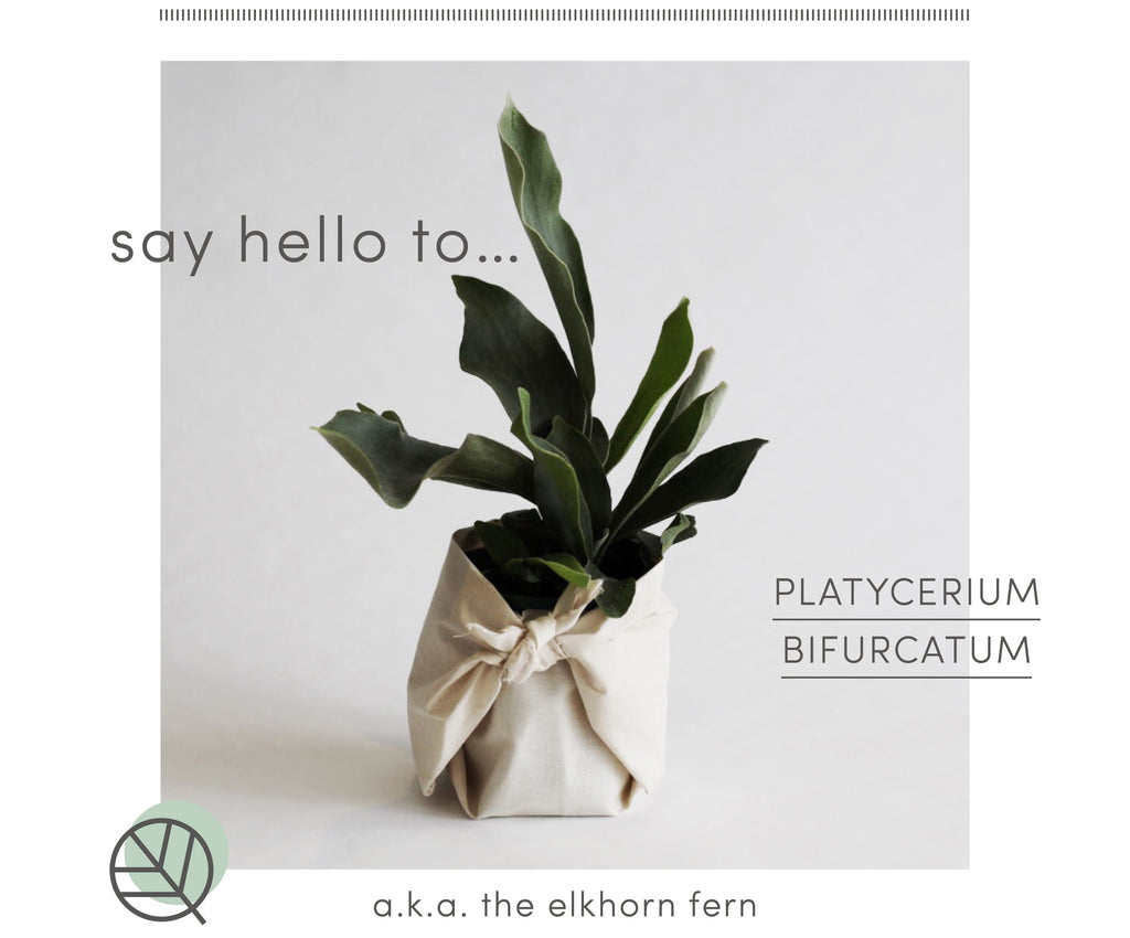 How to care for Elkhorn fern
