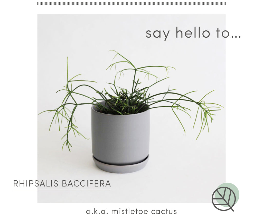 How to look after Rhipsalis