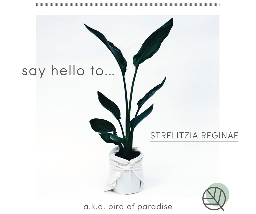 How to care for Strelitzia