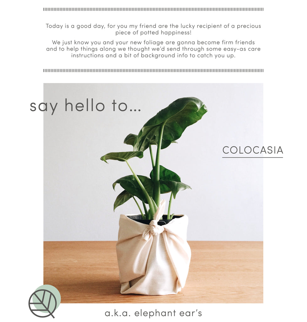 How to care for Colocasia