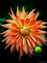 """DAHLIA"" archival photo print by Michael Cuffe - OPEN EDITION - 8.5"" x 11"""