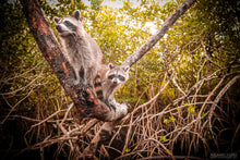 """MANGROVE RACCOONS: EVERGLADES NATIONAL PARK"" archival photo print by Michael Cuffe - OPEN EDITION - 8.5"" x 11"""