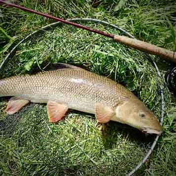 Barbel on Streamers
