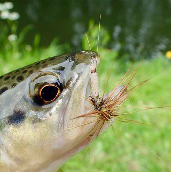 The Induced Take & Dry Flies