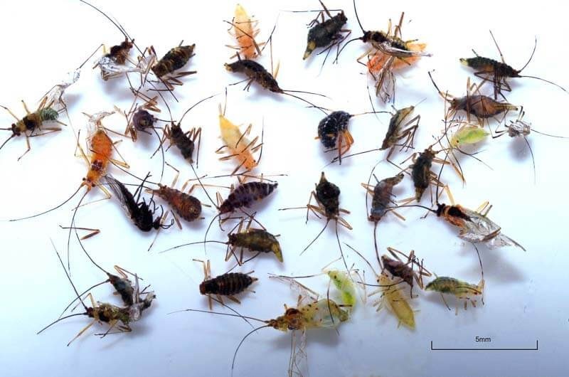Aphids from a grayling stomach sample (photo by Stuart Crofts)