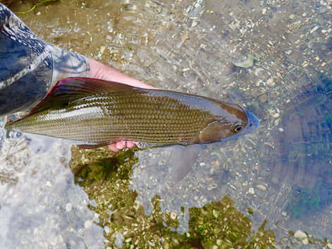 Hampshire Avon grayling caught in mid November 2017 on a size 24 CdC