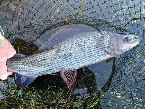 2lb 12oz grayling taken on Tenkara gear