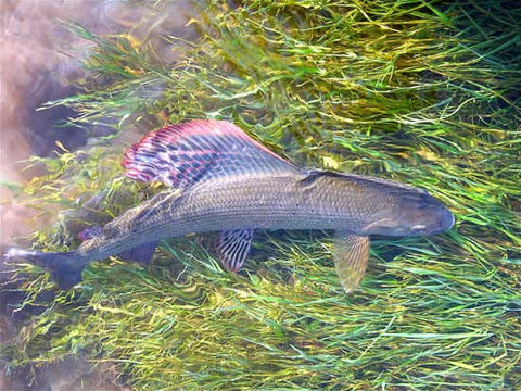 Grayling populations have declined drastically over recent years, mainly due to cormorant predation, but there are still some huge ones in the river if you can locate them.