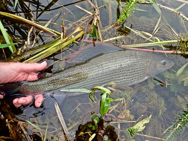 3lb 0oz Driffield Beck grayling
