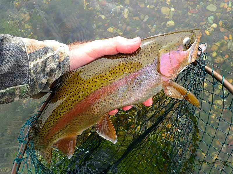 Average sized Spring Creek rainbow trout