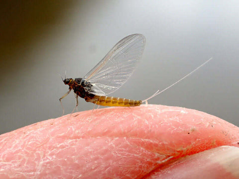 American BWO female spinner