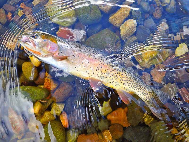 A colourful cutthroat trout