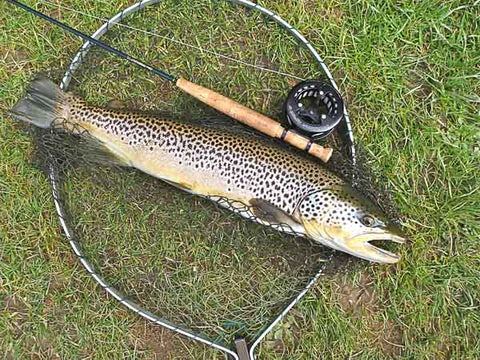 Brown trout caught on a White Zonker & 1 weight setup