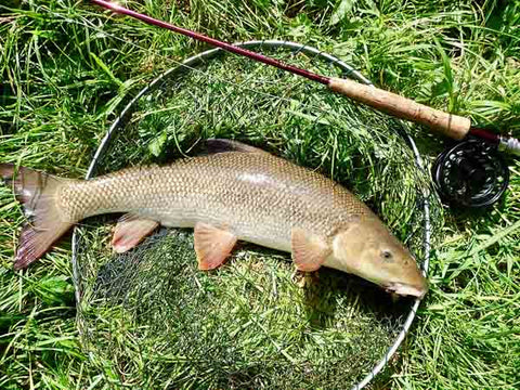 Barbel that took a Martin's Minnow variant