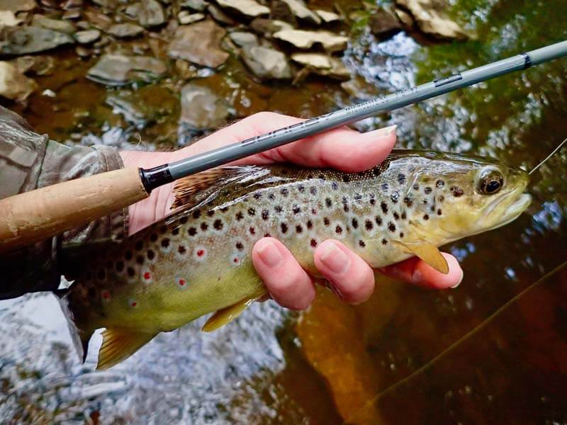 A good sized wild Driffield Beck trout caught on a size 20 CdC IOBO Humpy in late May 2020