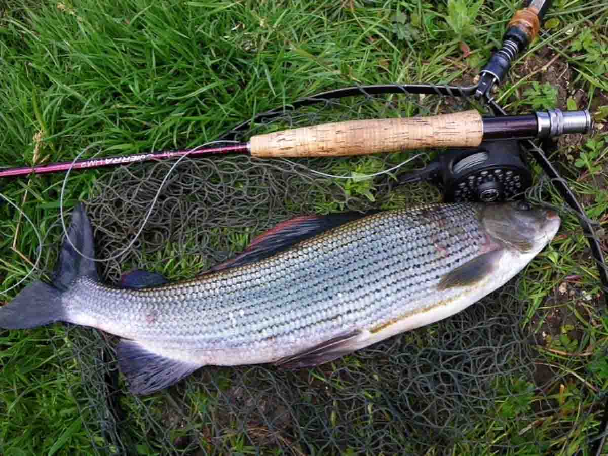 2lb 10oz grayling caught with a size 26 Black Buzzer Pupa