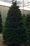 LARGE CHRISTMAS TREES (7-8')