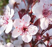 Picking a Winner: Choosing the Right Flowering Tree