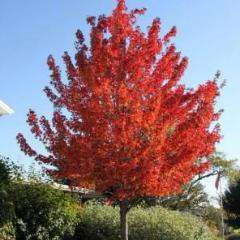 'Red Sunset' Maple
