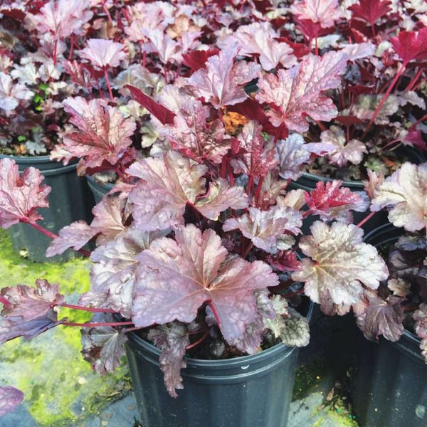 Heuchera 'Palace Purple' | Shade Perennial for Sale